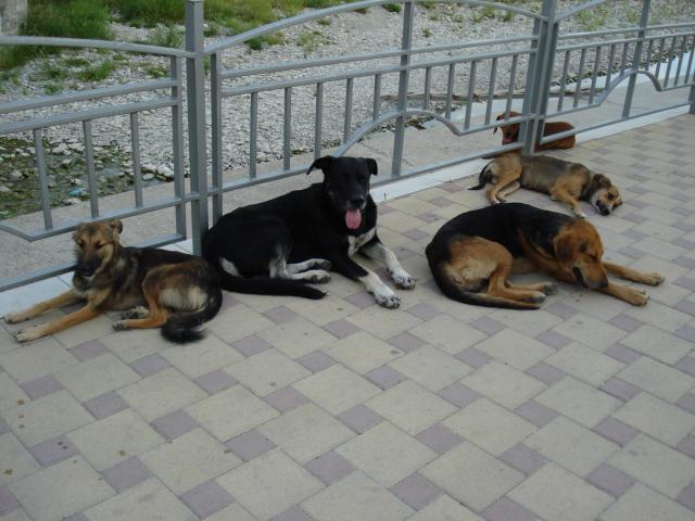 Собаки полу-дикие :)